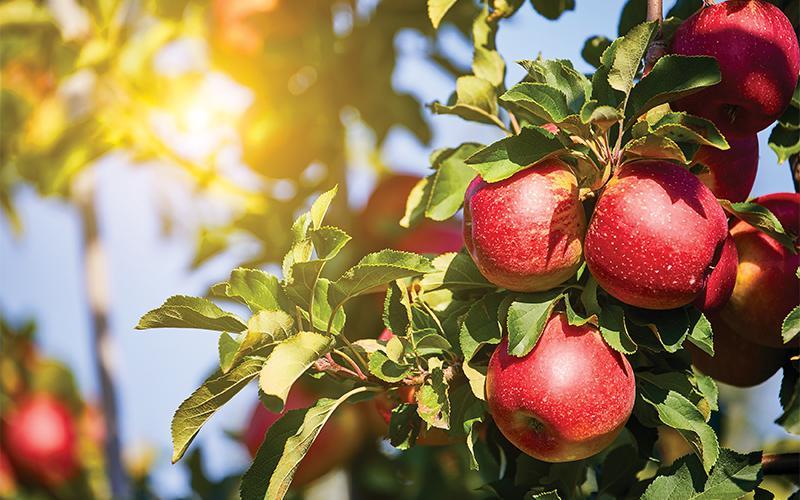 فیبر محلول سیب