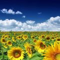 خواص روغن آفتابگردان برای زیبایی و پوست