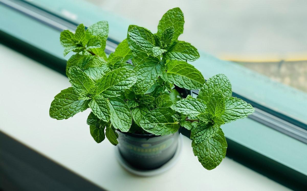 گیاهان داروئی کاهش دهنده دمای بدن